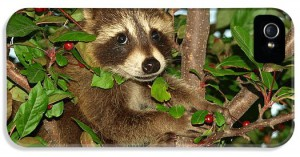 baby-raccoon-melissa-peterson
