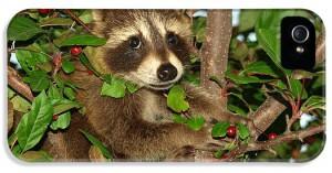 baby-raccoon-melissa-peterson