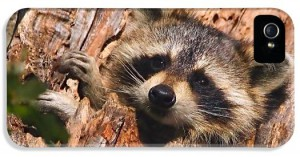 baby-raccoon-william-jobes