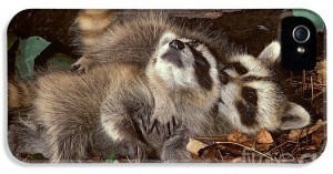 baby-raccoons-playing-er-degginger
