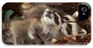 baby-raccoons-playing-er-degginger