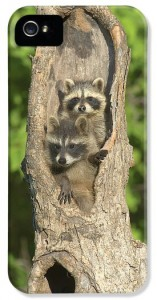 baby-racoons-in-hollow-tree-john-pitcher