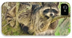 lazy-day-raccoon-jennie-marie-schell