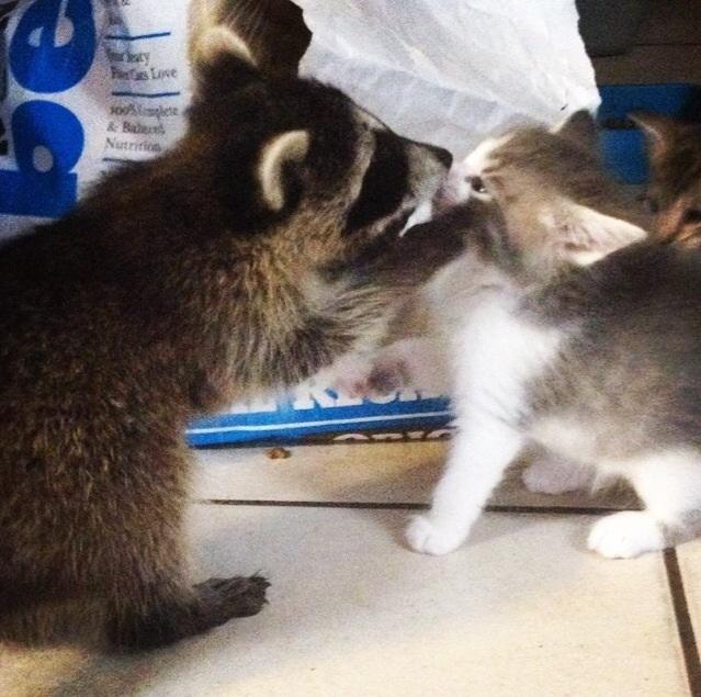 Енот, енот полоскун, енотик, енот дома, енот в квартире, крошка енот, поцелуй енота, енот и котенок